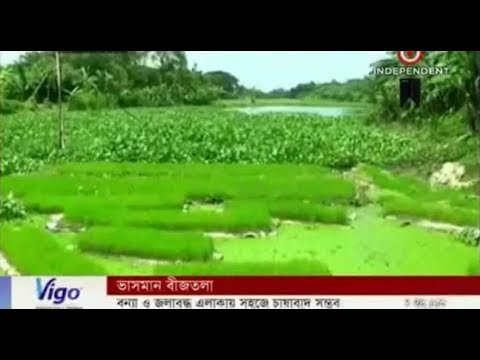 Vegetable plant growing on a floating seed bed in Kishoreganj (21-08-2017)