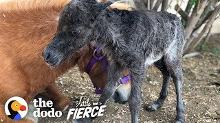 Baby Mini Horse Born Too Small Turns Into A Bucking Bronco | The Dodo Little But Fierce by The Dodo