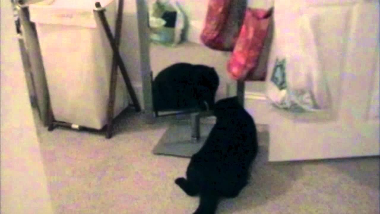 Mačka mrzi svoj odraz u ogledalu – smešni video klipovi sa mačkama