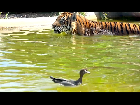 Ozzy Man Commentates on Duck vs Tiger Showdown