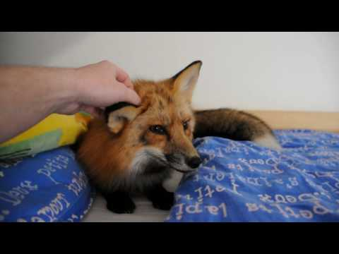 Když liška nemá zrovna dobrou náladu...