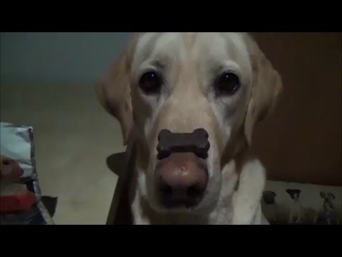 Labrador Retriever Self-Control: training & tricks