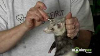Ferret Care - Grooming And Hygiene