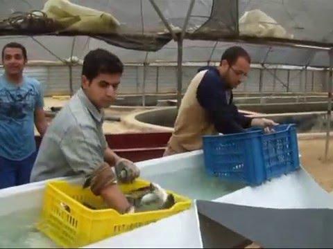 Intensive desert farming of marine fish in Egypt