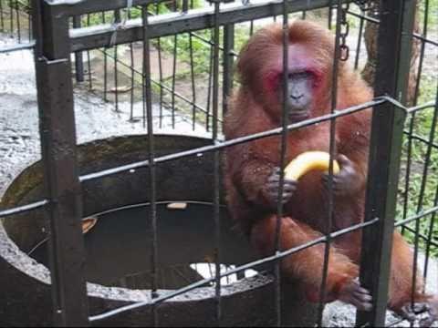 El mono loco que no sabia comer