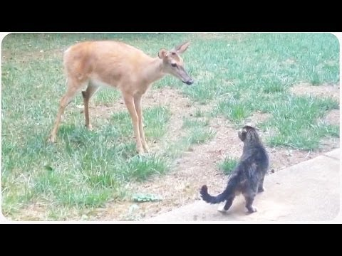 Video Cat Vs Deer | Standoff Between House Pet and Wildlife download in MP3, 3GP, MP4, WEBM, AVI, FLV January 2017