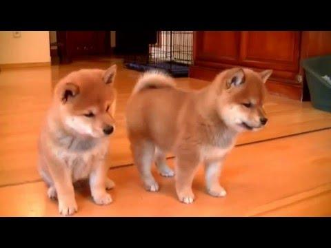 shiba inu: un cane particolare