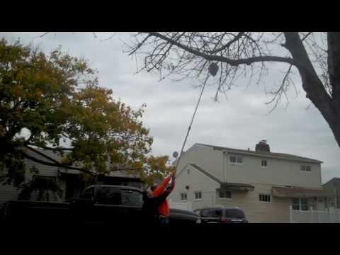 Cutting down hornets nest.
