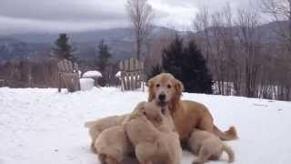 Mother Playing With Her 15 Golden Retriever Pups - Too Cute!
