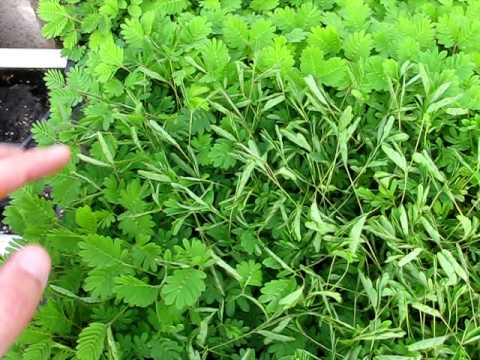Mimosa pudica - Sensitive Plant
