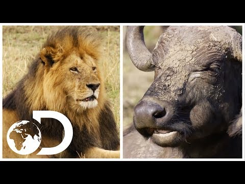 Lion vs. Buffalo: Which Animal Do You Think Will Win? | Discovery UK