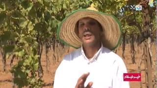 خير لبلاد:إنتاج العنب بإقليم بنسليمان