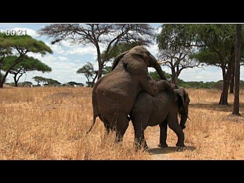Video Elephants sex download in MP3, 3GP, MP4, WEBM, AVI, FLV January 2017