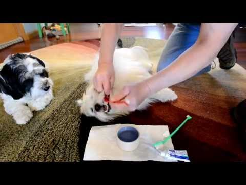 How I clean my dogs teeth. (Havanese and Coton de Tulear)