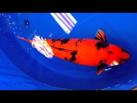 第45回 全日本総合錦鯉品評会(2014) 緋写り