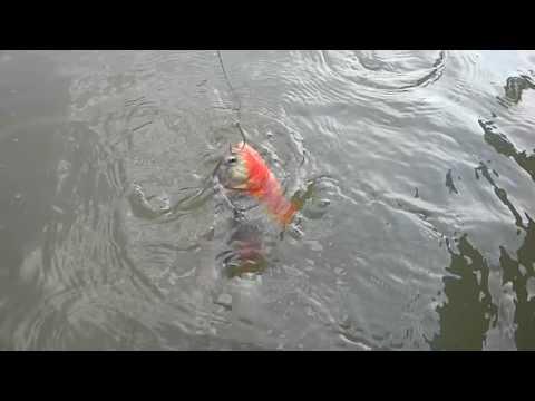 Piranhas Devoradoras Rio Xavantin