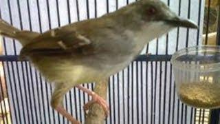 Download Video 4 Penyebab Burung Ciblek Anda Macet Bunyi Dan Cara Mengatasinya MP3 3GP MP4