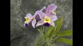 70. Orchids Time Lapse