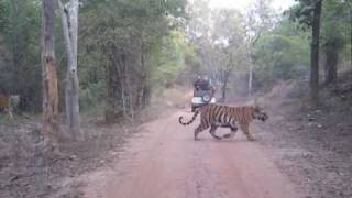 Bandhavgarh India  City new picture : Tigers at Bandhavgarh, India