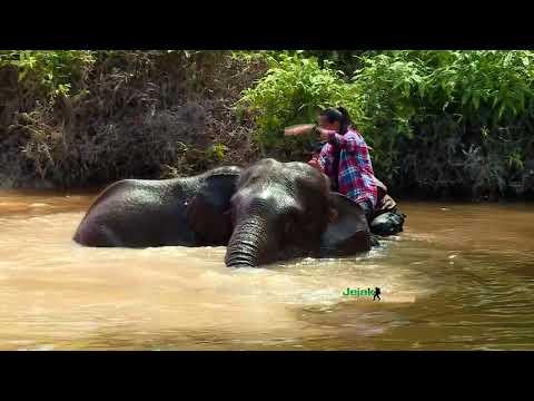 Mengenal Gajah di TN Tesso Nilo