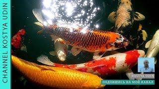 Запускаем в озеро рыб (Карп Кои), (We launch fish into the lake (Karp Koi))