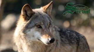 Nonton Wolf Hunting  In Kalinovik   Bosnia And Herzegovina  Wolfjagd Film Subtitle Indonesia Streaming Movie Download