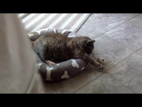 Laziest fattest cat alive