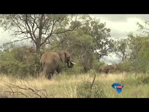 Navorsing oor grootvoete / Elephant research in Limpopo