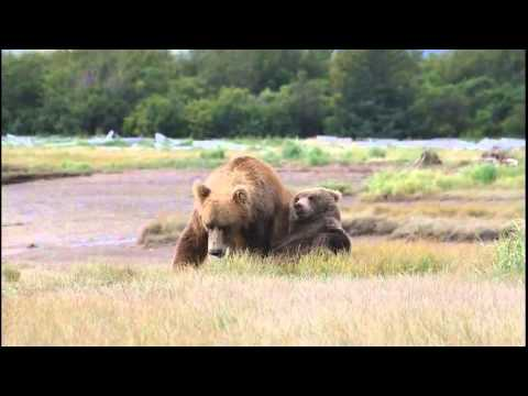 Alaska Brown Bear Playing in Katmai