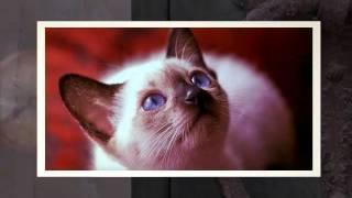 Most Popular Pedigrees Cat Breeds | Top 10 List