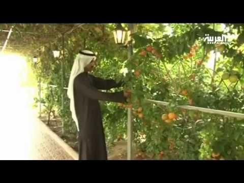 مزارع كويتي يحول أرضا صحراوية قاحلة إلى بستان