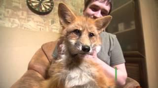 Московская семья завела лиса вместо собаки