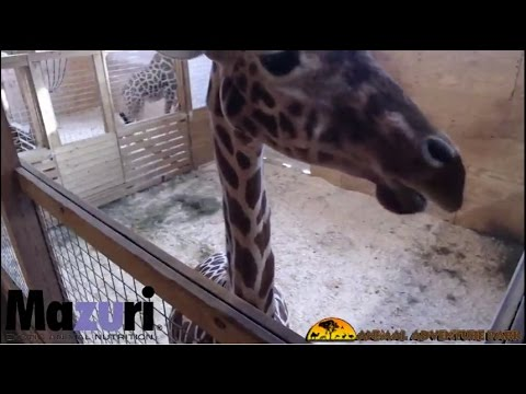 Animal Adventure Park Giraffe Cam (видео)