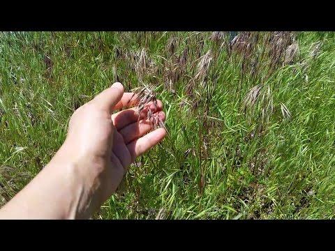 How to Identify Cheatgrass aka Downy Brome (Bromus tectorum)