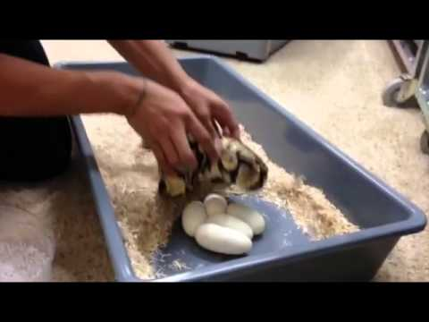 Eggs From Freak Pastel | KEO Reptiles