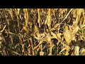 A walk through the corn fields of Germany   Before corn harvesting