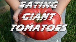 Dzisiaj dostaliśmy gigantyczne pomidory z Całowania :) Pierwsze tak dobre w tym roku - sklepowe nie dorastają im do pięt. Te pomidory rządzą.