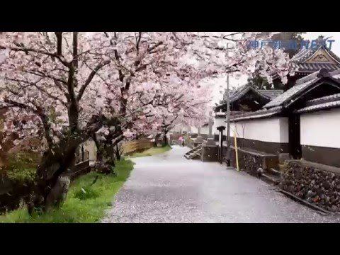 雲龍寺参道に桜のじゅうたん