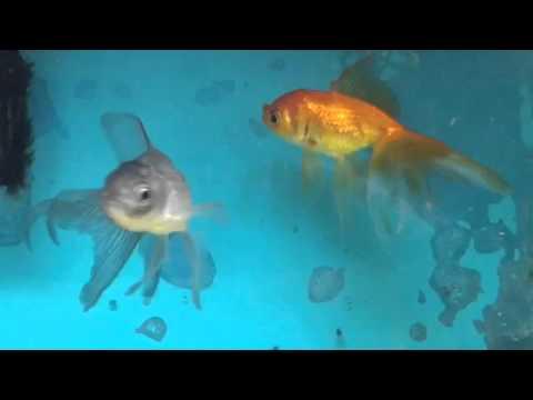 【金魚水槽】オランダ獅子頭 青文魚 動画 映像
