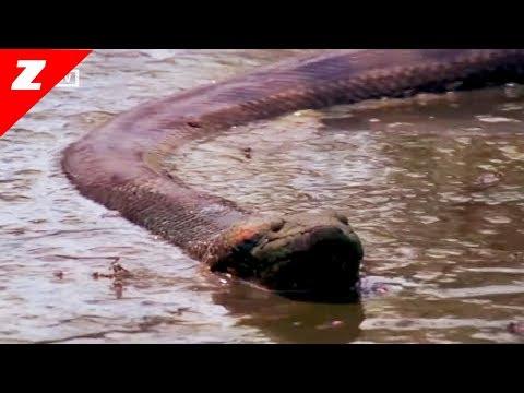 ANACONDA - Quái vật không chân của đầm lầy Amazon