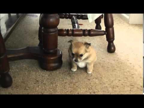 Pomeranian X Chihuahua Pups