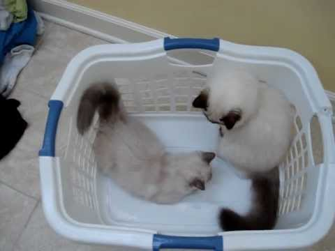0 Pictures of Ragdoll Cats in Laundry Baskets