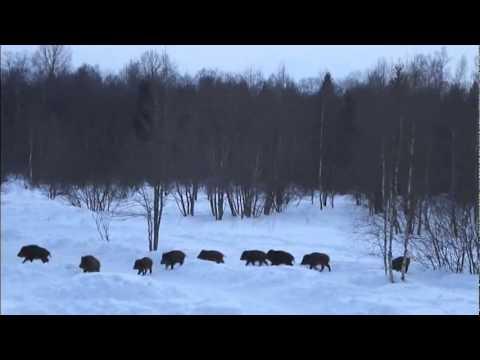 Villisiat - The Wild Boars    Subtitled EN