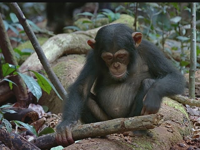 Schimpansen-trailer-filmclips