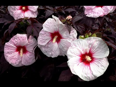 best perennials hibiscus 39 kopper king 39 rose mallow. Black Bedroom Furniture Sets. Home Design Ideas