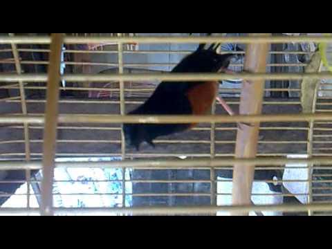 นกบินหลาดง - ตัวนี้เป็นนกมาจากเขาบูโด อำเภอบาเจาะ จังหวัดนราธิวาส อยากให้สาวกที่หลงไหลน้ำเสียง...