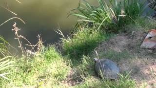 Epic turtle jump ends undramatically