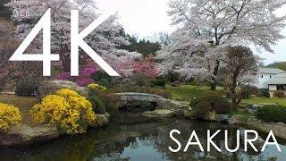 4K空撮 / 無形文化遺産和紙の里の桜