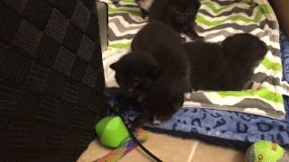 Wobbly Two Week Old Foster Kittens! More Alert Now :)