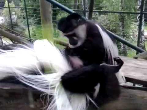 Porno małp